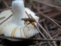 Mushroom. Fungus that grows to life in a pine country Royalty Free Stock Images