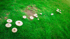 Mushroom in the garden after raining Royalty Free Stock Photography