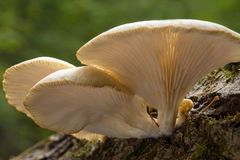 Mushroom with Gills. Underside macro image of a group of white mushrooms growing on tree bark Stock Image