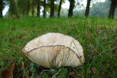Mushroom gills Royalty Free Stock Images
