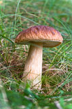 Mushroom in the grass. Royalty Free Stock Image