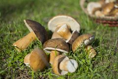 Mushrooms. Mushroom in grass Stock Images