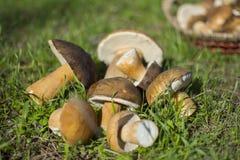 Mushroom in wood Stock Images