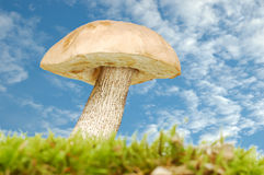 Mushroom in grass Stock Images