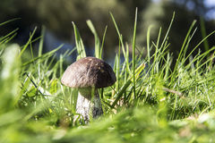 Mushroom in grass. A birch fungus is in the Grass Royalty Free Stock Photos