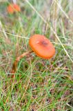 Mushroom among grass Royalty Free Stock Photo