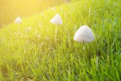 Mushroom on the grass field in morning with sunshine royalty free stock images