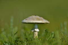 Mushroom in the grass Stock Photography