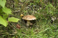 Mushroom in the grass Royalty Free Stock Photos