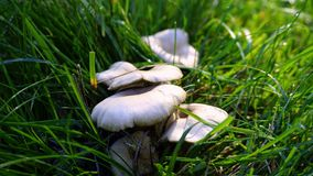 Mushroom, Grass, Oyster Mushroom, Fungus Royalty Free Stock Image