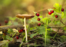 Mushroom with grass and rose hips Stock Image