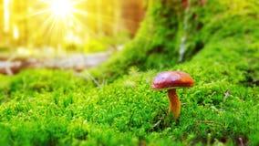 Mushroom in green moss. Royalty Free Stock Photo