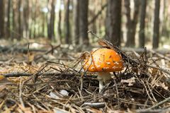 The mushroom grew in the autumn forest bathed in sunlight.  Royalty Free Stock Image