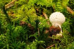 Mushroom On The Ground Among Fern And Pine Tree Needles stock photography