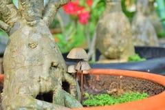 Mushroom grow up beside Adenium. Stock Photography
