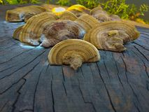 Mushroom growing on cut of tree stock photography