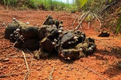 Mushroom growing on elephant shit. Wild elephant shit in the rain forest Royalty Free Stock Photo