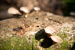 Mushroom growing on a fallen tree trunk Stock Image