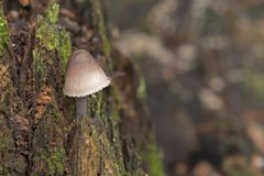 A mushroom in autumn on Southampton Common stock image