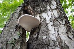 Mushroom growing on a tree birch Stock Photography