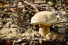 Mushroom grown up from ground Royalty Free Stock Images
