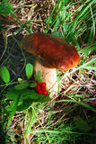 Mushroom grows in the forest Stock Images
