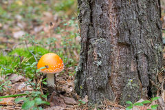 Mushroom. The mushroom grows near pine Stock Images
