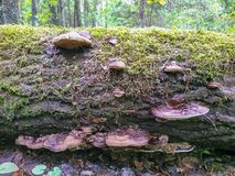 Mushroom heap on the birchtree, wooden cortex details royalty free stock images
