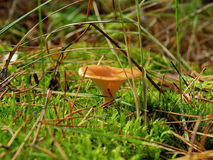 Mushroom Hygrophoropsis aurantiaca Royalty Free Stock Photo