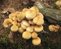 Mushroom Hypholoma fasciculare. In the forest Stock Photography