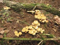 Mushroom Hypholoma fasciculare. In the forest Stock Photo