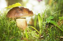 Free Mushroom In Grass Royalty Free Stock Photography - 10100967