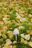 Mushroom. Inedible mushrooms toadstool in autumn city park in the middle of opevashey yellowed foliage stock photos