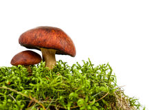 Mushroom isolated Royalty Free Stock Photos