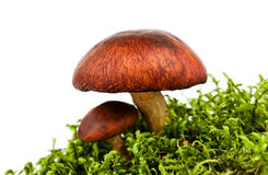 Mushroom isolated Stock Image