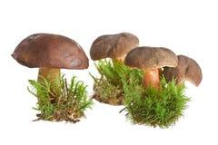 Mushroom isolated on white background Royalty Free Stock Photography
