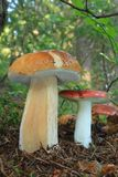 Mushroom king bolete and russula Stock Photos