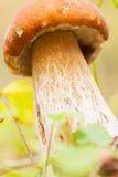 Mushroom king, Boletus pinophilus, on forest Stock Images