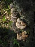 Mushroom. Kluang - November 2012 Brown shell mushrooms growing on a old log Royalty Free Stock Photo