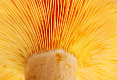 Mushroom ( Lactarius deliciosus) Royalty Free Stock Photography