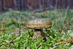 Mushroom lactarius turpis Stock Photo