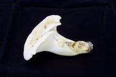 Mushroom Lactifluus piperatus Stock Image