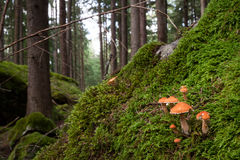 Mushroom landscape. Wild mushrooms growing in a beautiful ancient and lush forest in the austrian alps Royalty Free Stock Photography