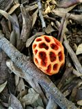 Mushroom lantern found in the woods of Maremma Toscana in the province of Grosseto. Mushroom lantern found in the woods Stock Photo