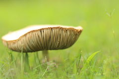 Mushroom, large Stock Photo