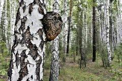 Mushroom with the Latin name Inonotus obliquus grew on birch royalty free stock photo