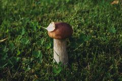 Mushroom on the lawn near the house Royalty Free Stock Photography