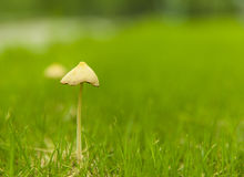 Mushroom on the lawn Stock Photo