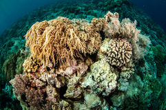 Mushroom leather coral in Banda, Indonesia underwater photo Stock Image