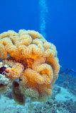 Mushroom leather coral in tropical sea, underwater Stock Images